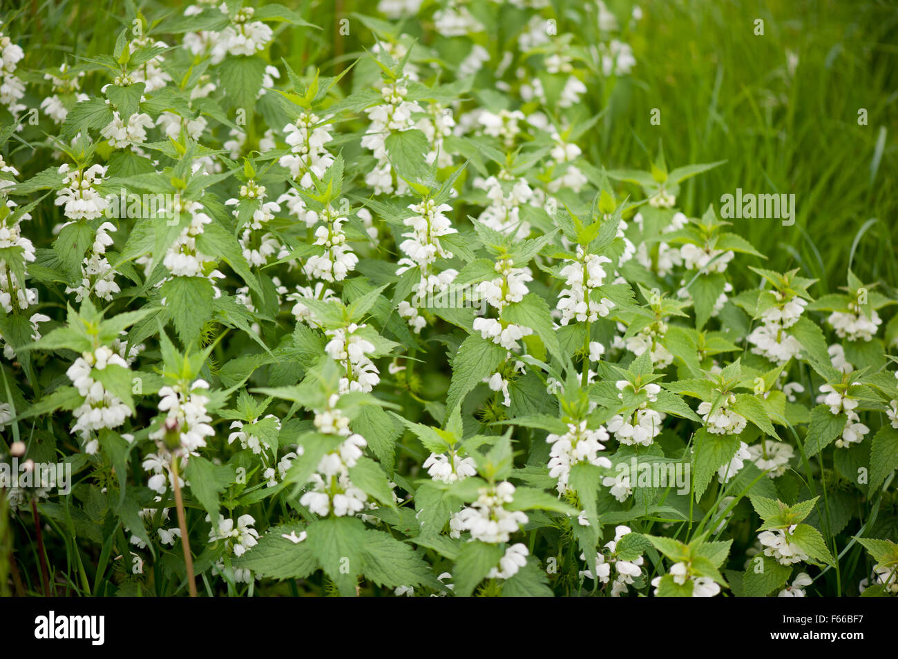 Lamium Album White Flowering Herbal Medicine Perennial Plant In The