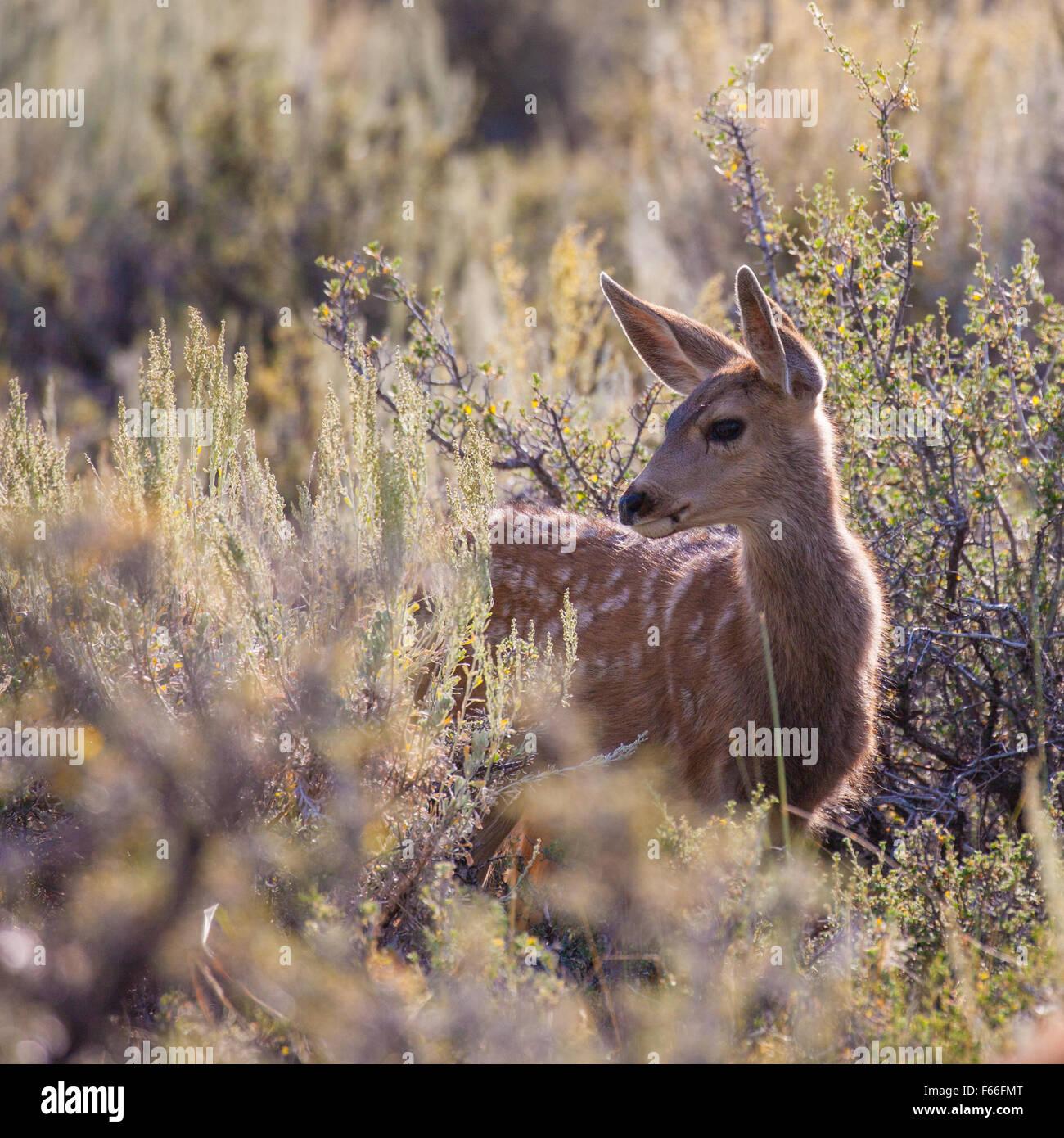 Mule Deer Fawn (Odocoileus hemionus) in the high desert of Bridgeport, California - Stock Image