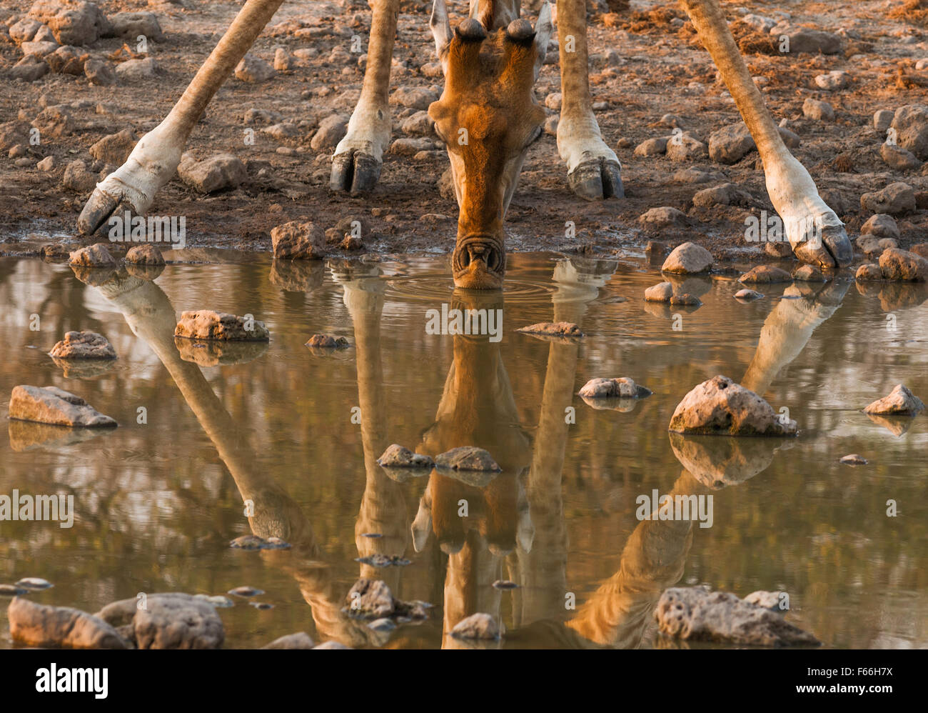 Giraffe and Its Reflection head and legs only - Stock Image