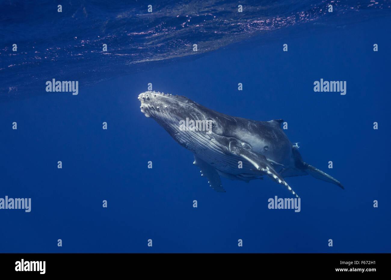 Humpback Whale calf, Vava'u, Tonga - Stock Image