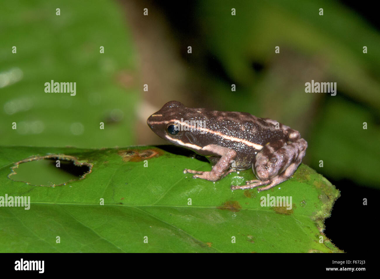 Poison dart frog (Hyloxalus sp.) in the rainforest in the Madre de Dios region of Peru - Stock Image