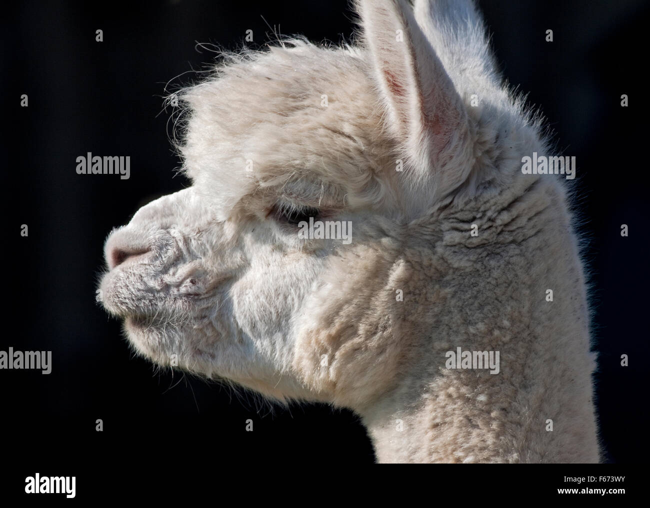 White Alpaca (vicugna pacos) portraint in profile - Stock Image