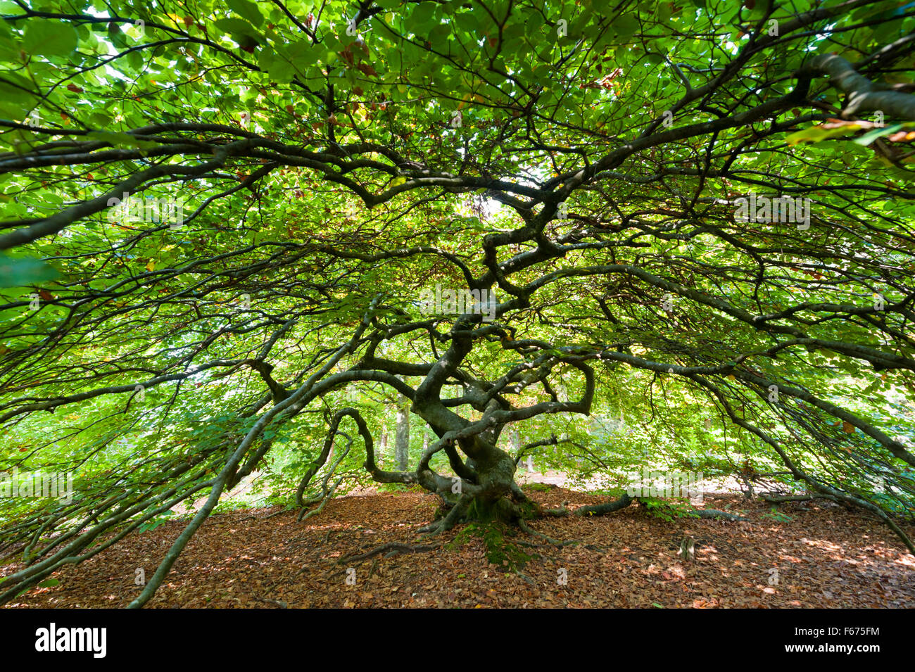 A twisted beech tree at Verzy in Champagne France.  Also known as Faux de Verzy - Stock Image