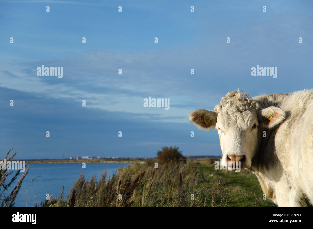 Curious cow by a coastal pastureland - Stock Image