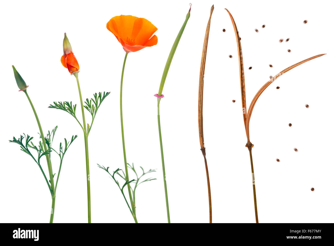 Flower stages stock photos flower stages stock images alamy eschscholzia californica california poppy sequence showing the different stages of growth mightylinksfo
