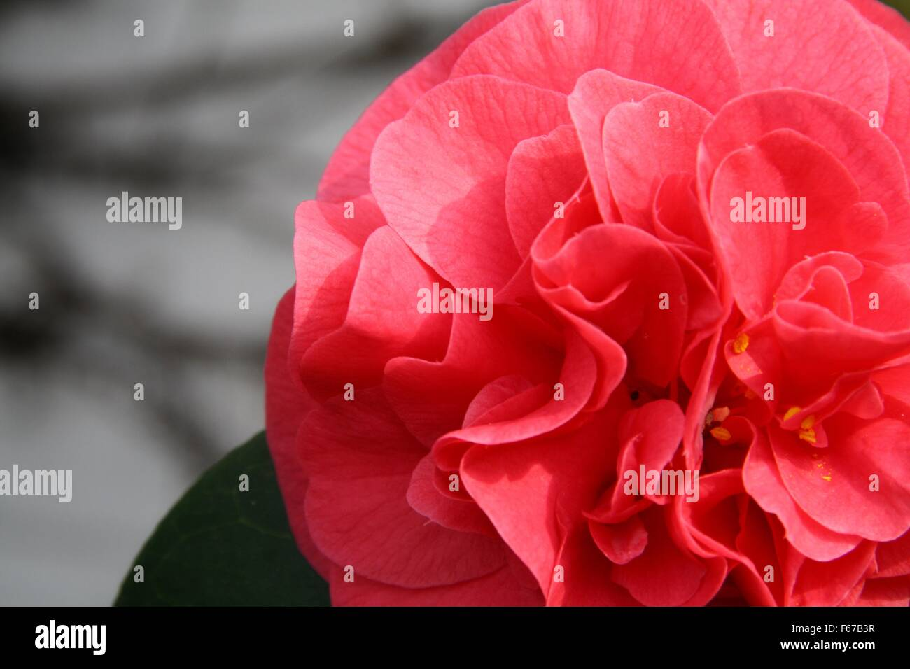 Red blooming flower - Stock Image