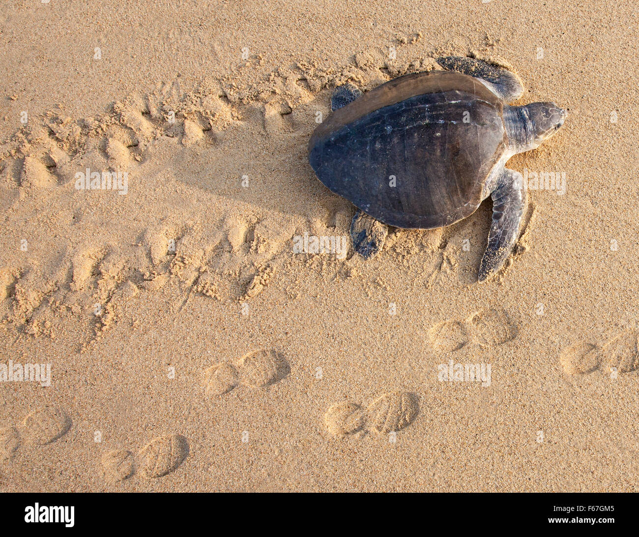 An Olive Ridley sea turtle crawls up to nest on the Ixtapilla, Michoacan, Mexico beach at sunrise. - Stock Image