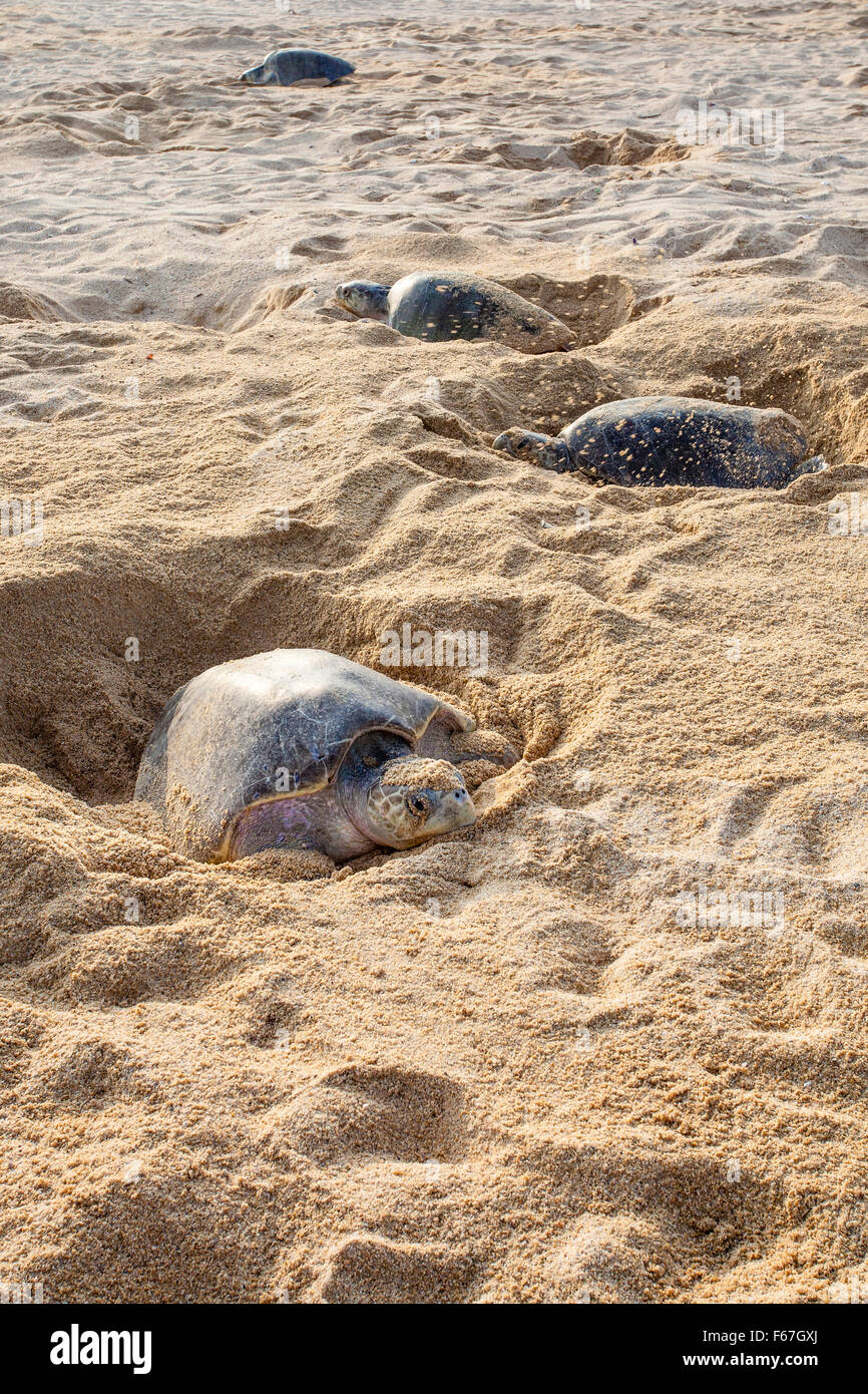 Adult Olive Ridley sea turtles dig their nests in the sand before laying eggs on the beach at Ixtapilla, Michoacan, - Stock Image