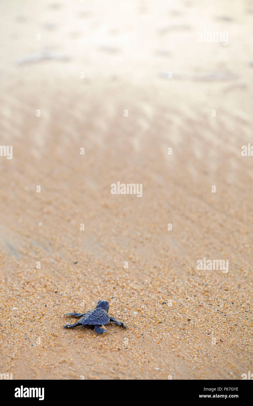 A newly born Olive Ridley turtle heads out to sea all alone for the first time, Ixtapilla, Michoacan, Mexico. - Stock Image