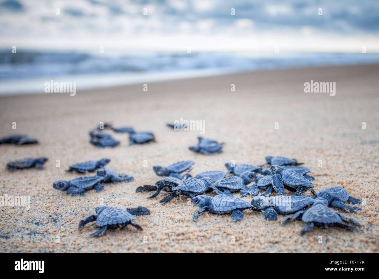 Baby Olive Ridley turtles head out to sea for the first time at Ixtapilla, Michoacan, Mexico. - Stock Image