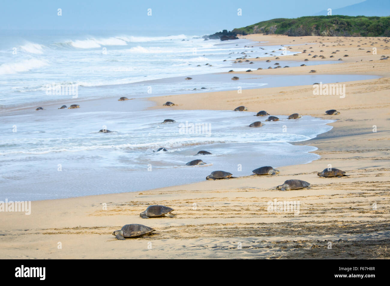 The tiny beach of Ixtapilla, Michoacan, Mexico fills with hundreds of nesting Olive Ridley sea turtles as dawn breaks. - Stock Image
