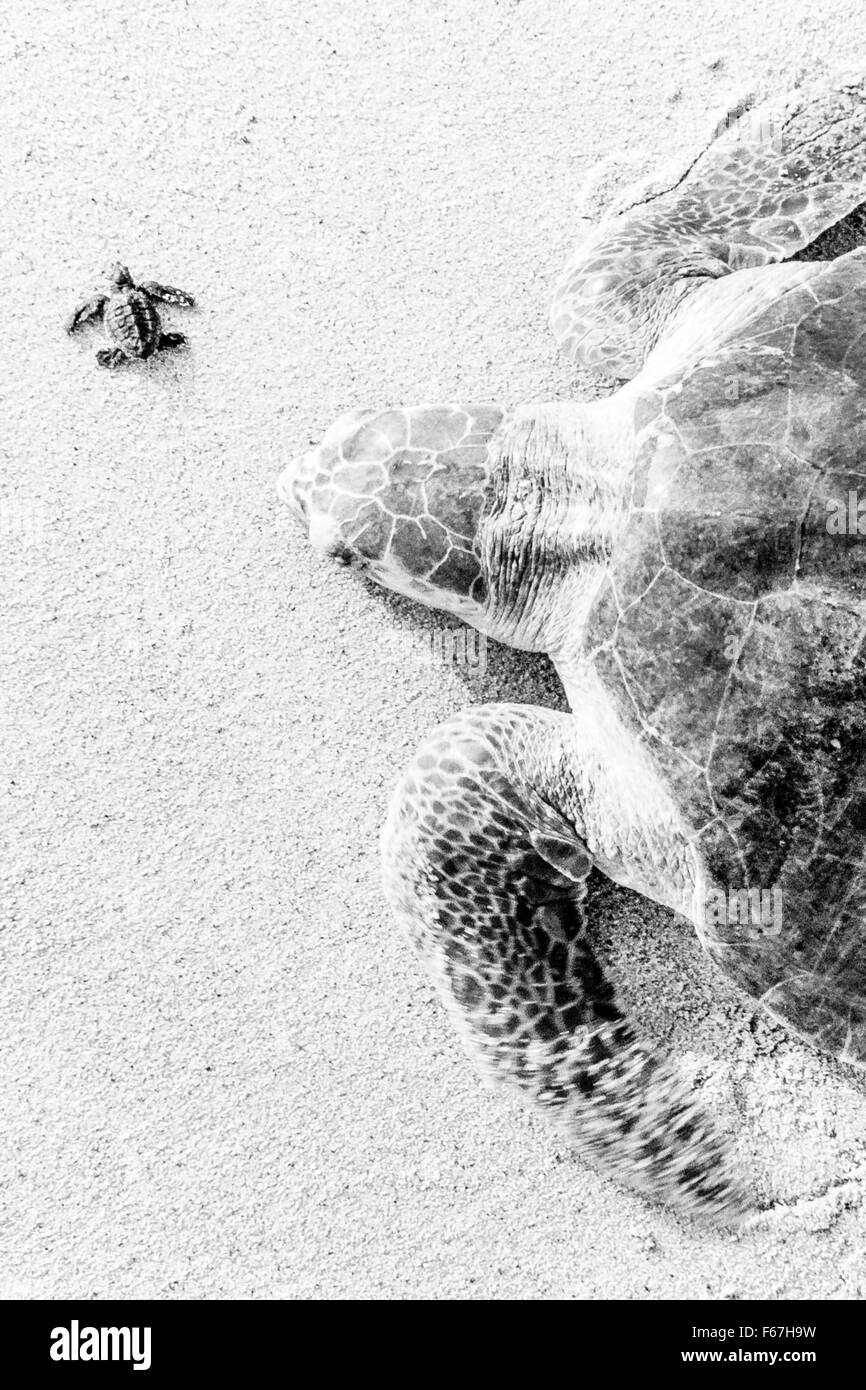 Adult and newly hatched Olive Ridley turtles together on the beach at Ixtapilla, Michoacan, Mexico. - Stock Image