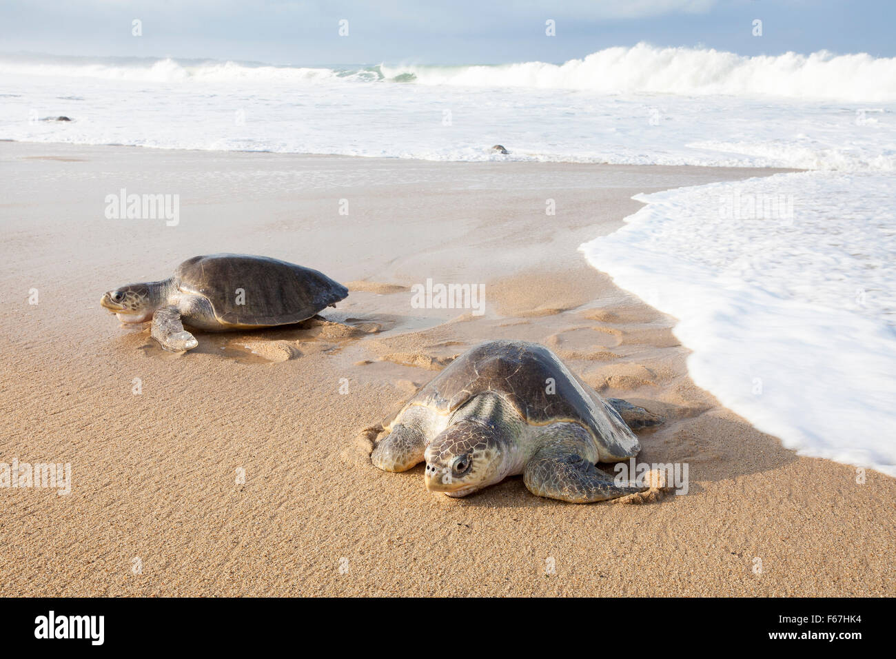 A couple of Olive Ridley sea turtles crawl up the beach to nest at Ixtapilla, Michoacan, Mexico. - Stock Image