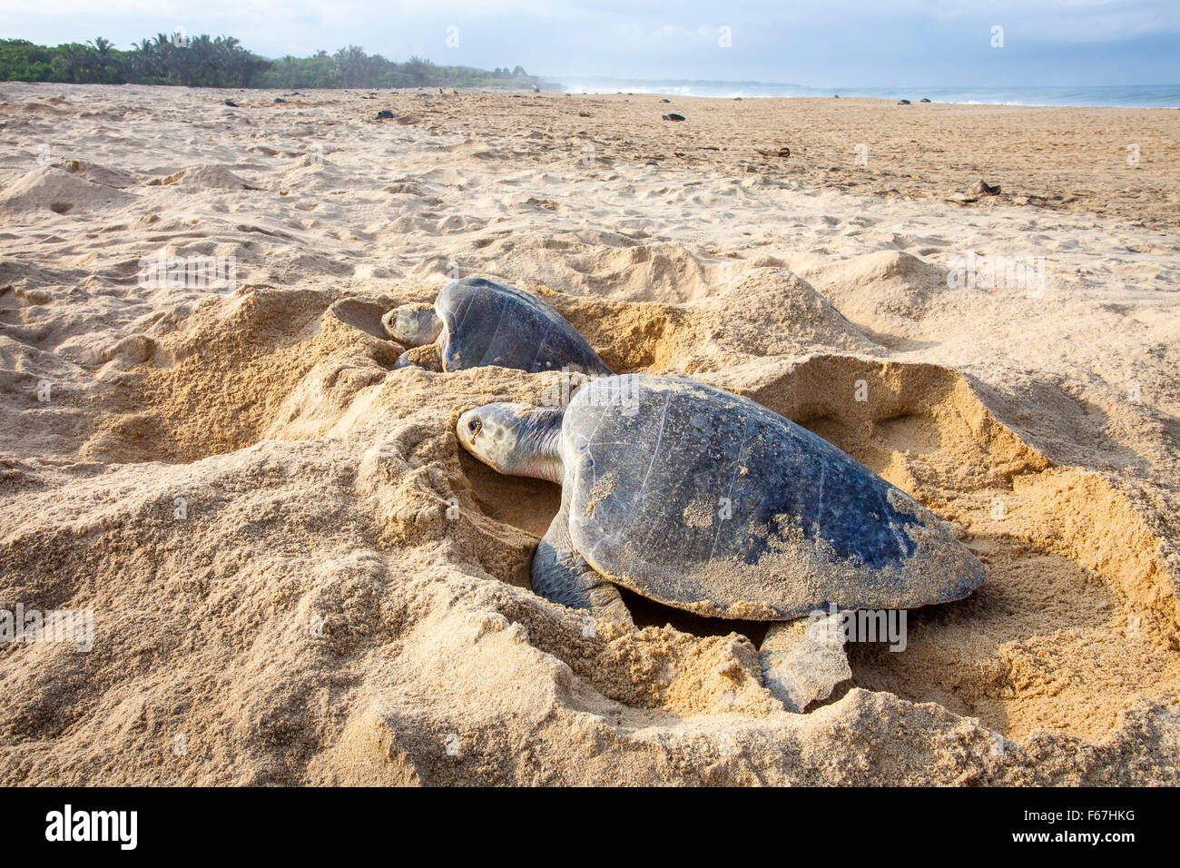 A couple of Olive Ridley sea turtles dig their nests on the Ixtapilla, Michoacan, Mexico beach at sunrise. - Stock Image
