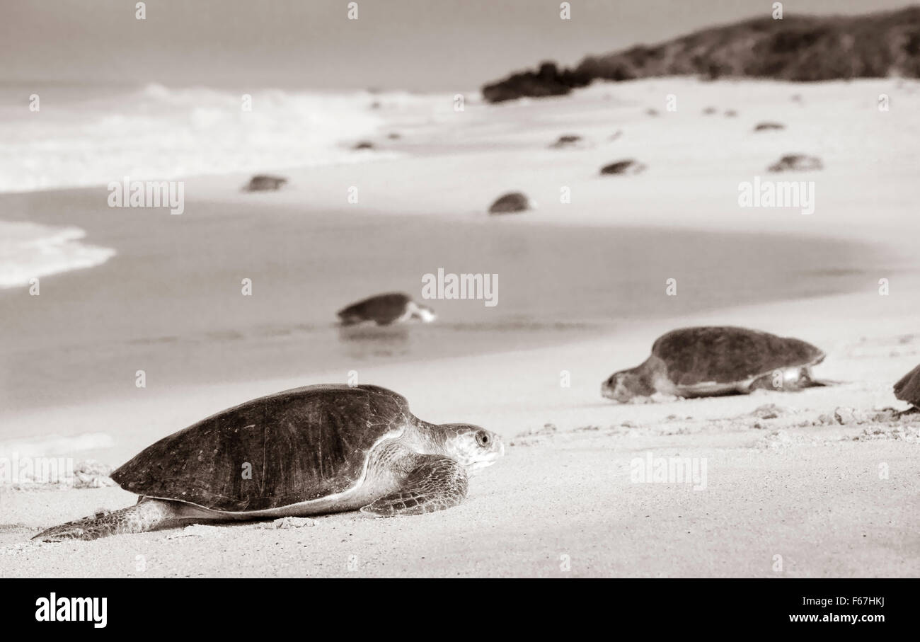 Black and white of adult Olive Ridley sea turtles arriving to lay eggs on the beach of Ixtapilla, Michoacan, Mexico. - Stock Image