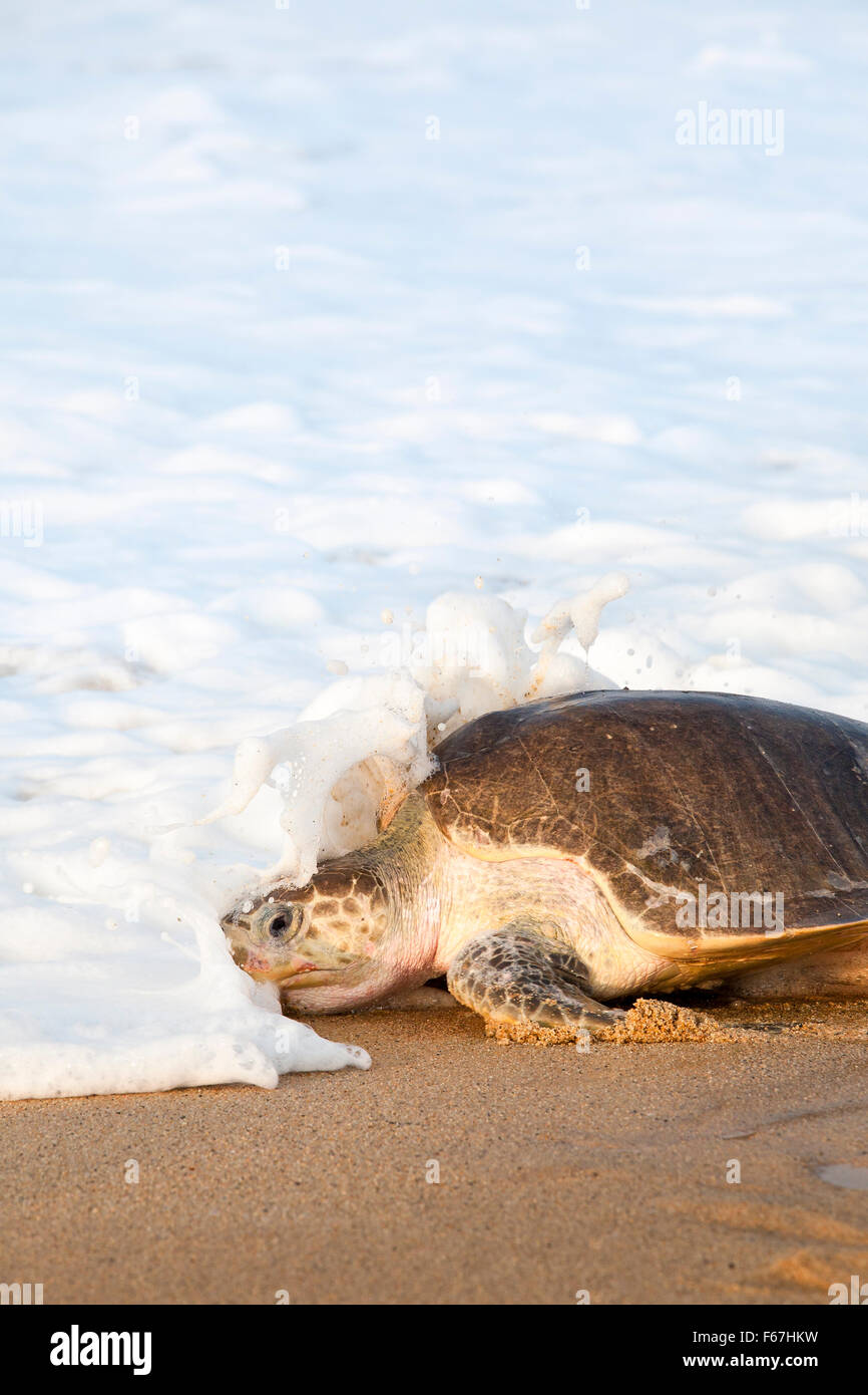 Wave breaks over an adult Olive Ridley turtle heading back to sea after laying eggs on the beach at Ixtapilla, Michoacan, - Stock Image