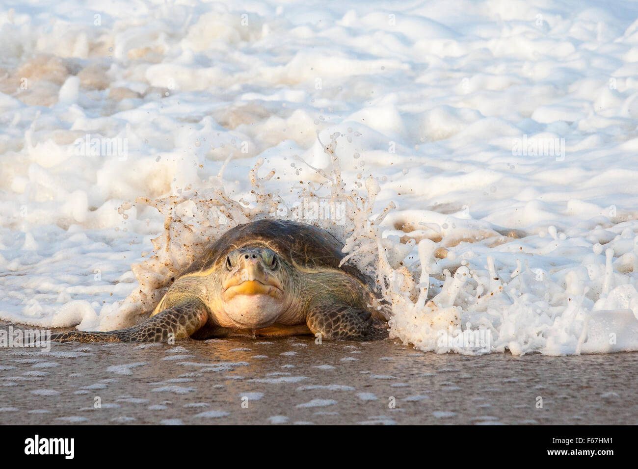 Wave breaks over an adult Olive Ridley turtle crawling ashore to lay eggs on the beach at Ixtapilla, Michoacan, - Stock Image