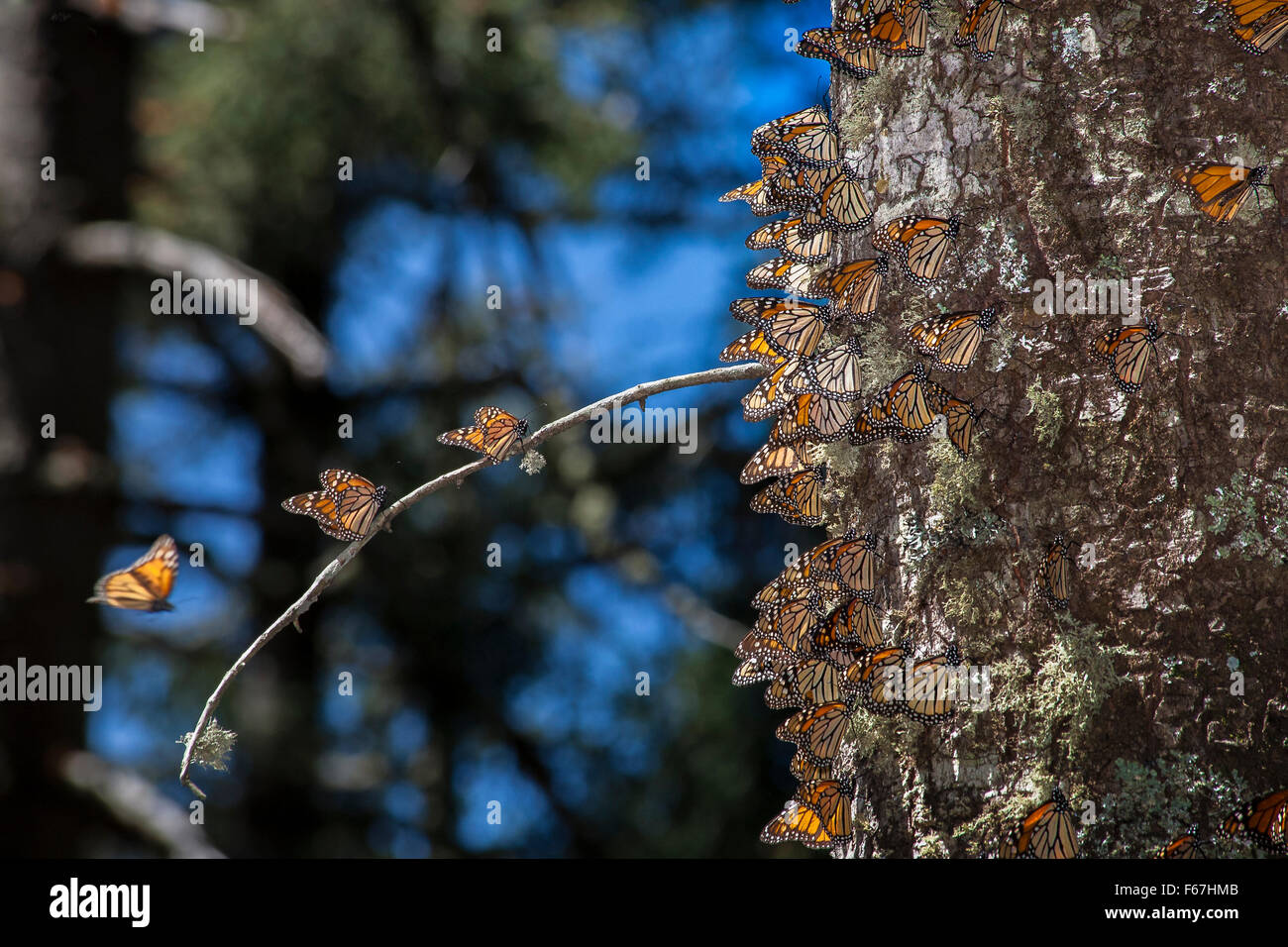 Monarch butterflies cling to an oyamel fir tree in the monarch butterfly sanctuary in Michoacan, Mexico. - Stock Image