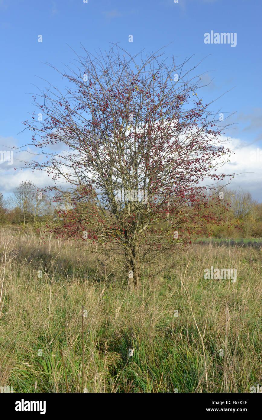 Common Hawthorn - Crataegus monogyna Rosaceae - Stock Image