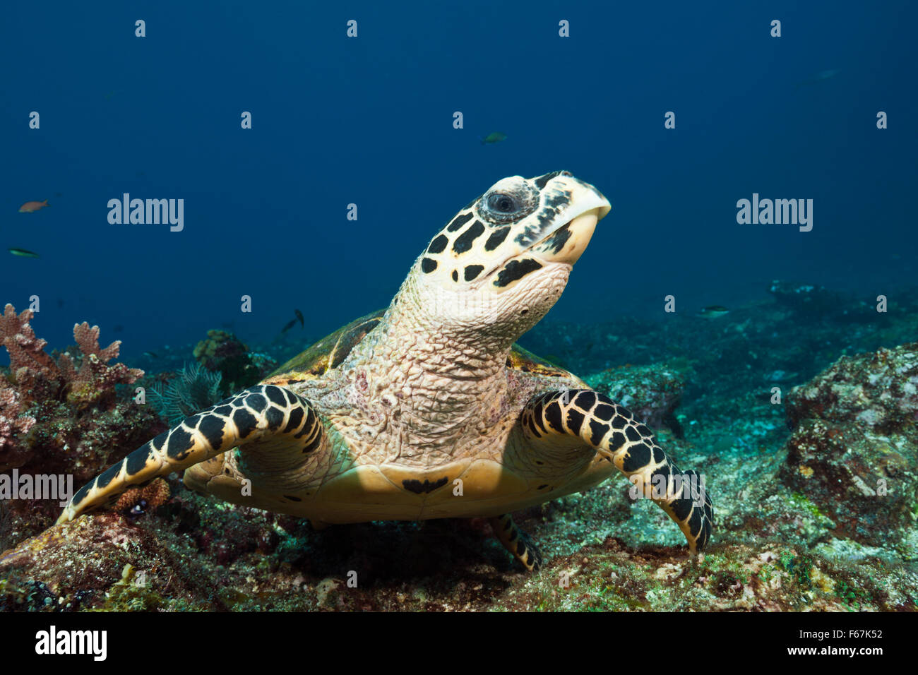 Hawksbill Sea Turtle, Eretmochelys imbricata, Komodo National Park, Indonesia - Stock Image