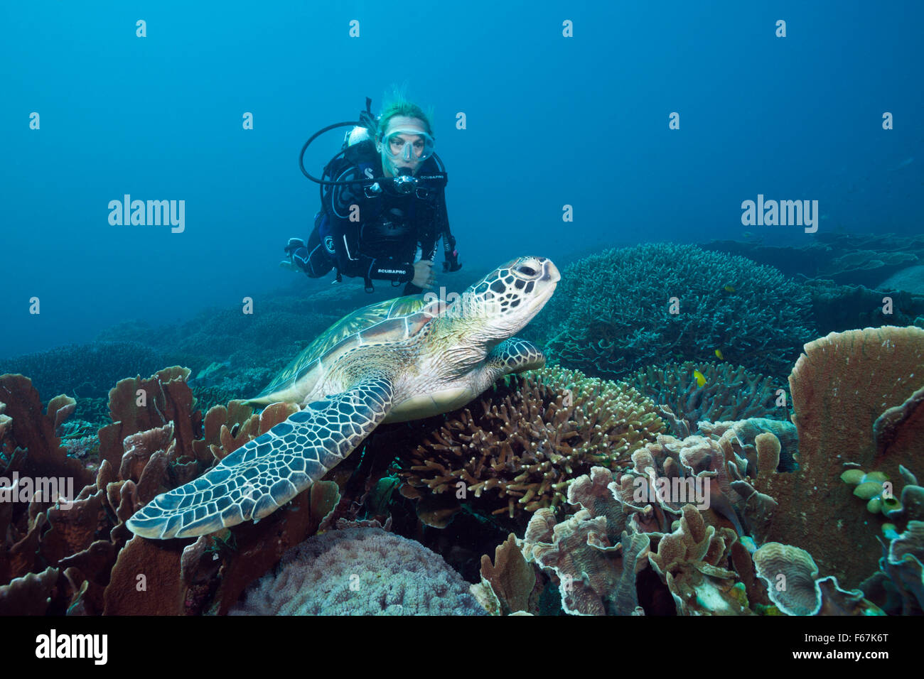 Green Sea Turtle and Scuba diver, Chelonia mydas, Komodo National Park, Indonesia - Stock Image