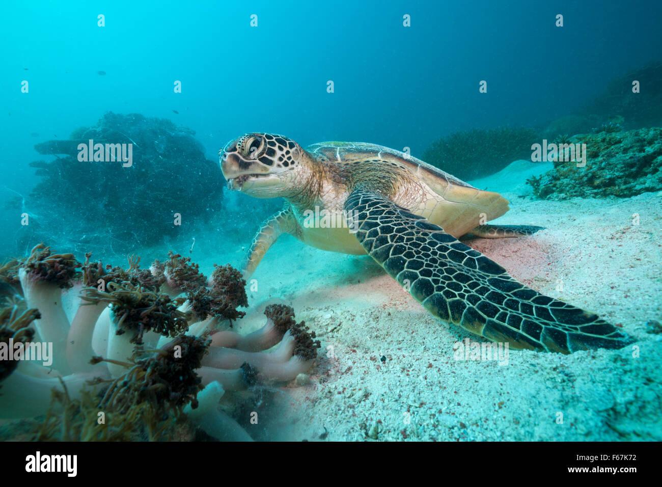 Green Sea Turtle, Chelonia mydas, Komodo National Park, Indonesia - Stock Image