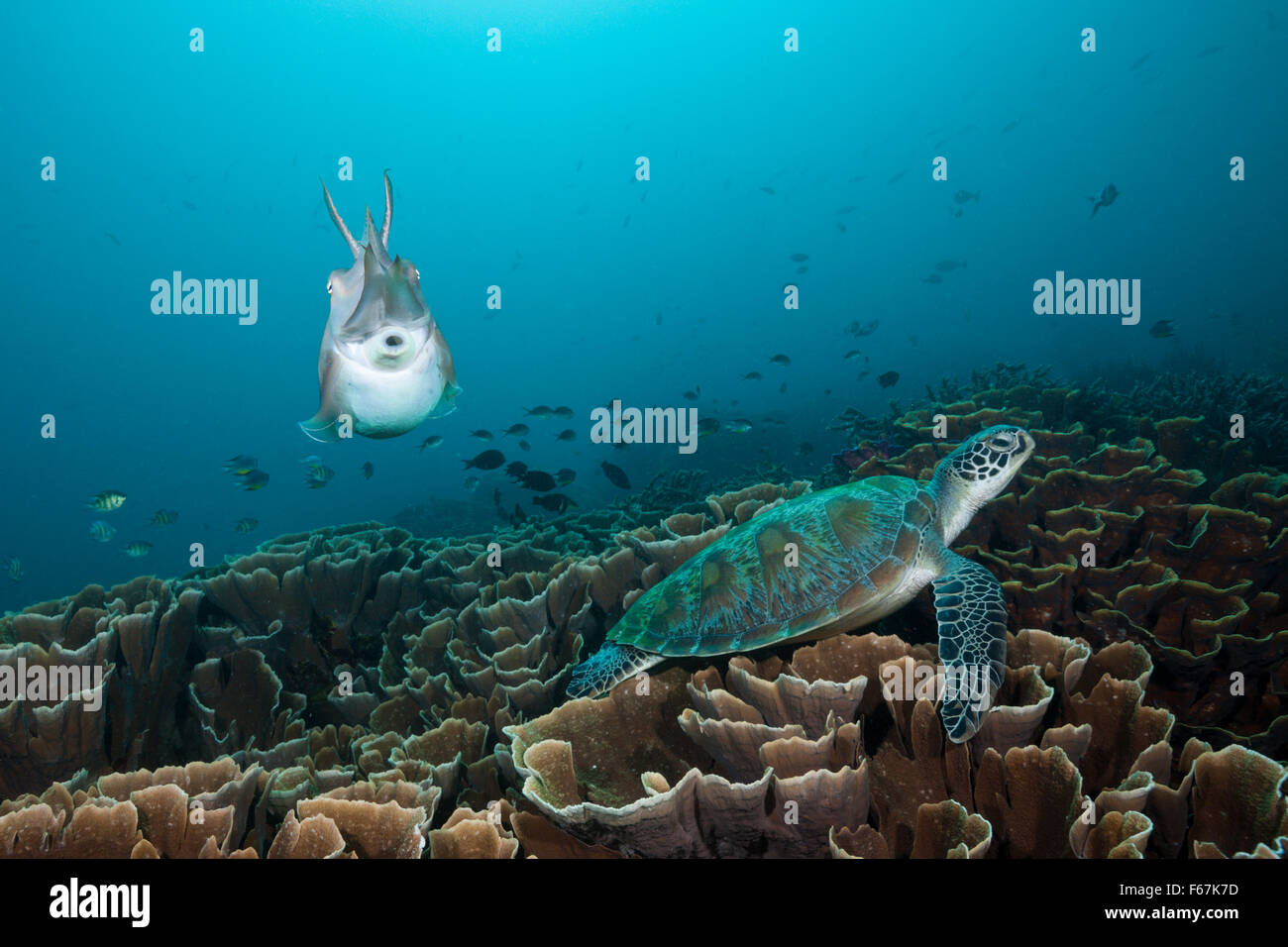 Broadclub Cuttlefish and Green Sea Turtle, Sepia latimanus, Komodo National Park, Indonesia - Stock Image