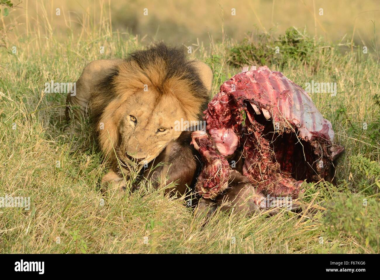 Male Lion with its prey in the Masai Mara reserve, Kenya. - Stock Image