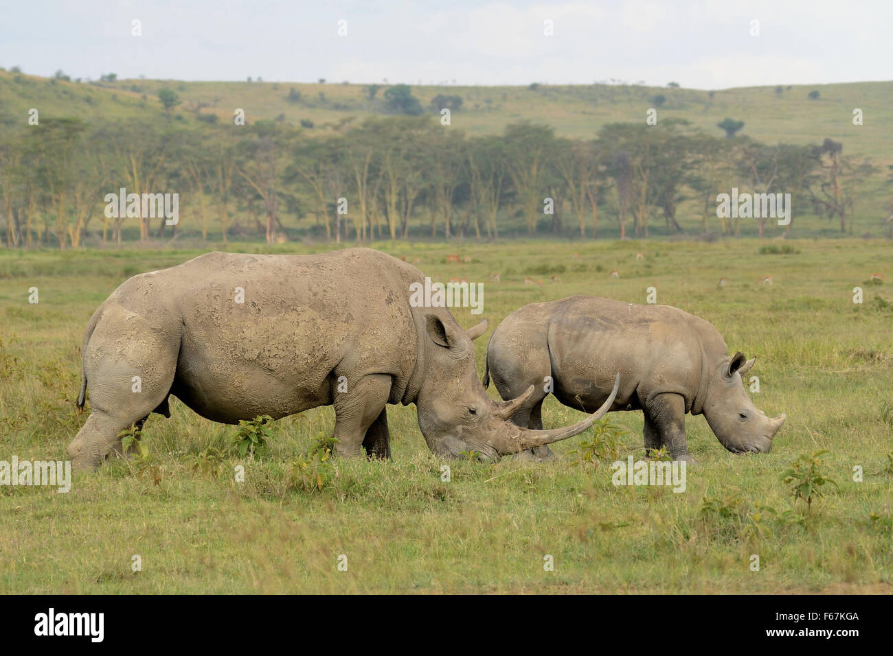 Two White rhino eating grass in the bush - Stock Image
