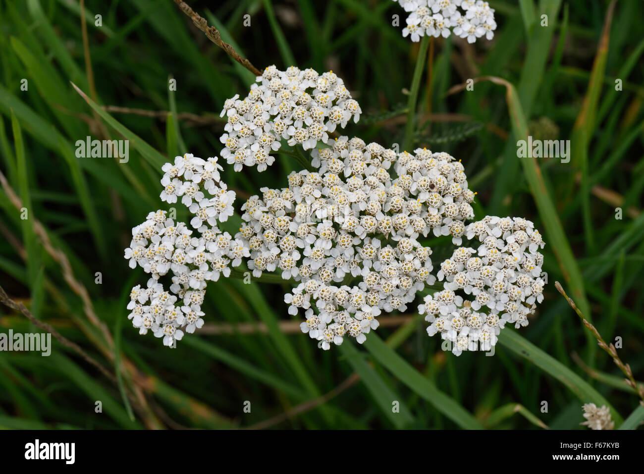 White flower of yarrow, Achillea millefolium, in grassland, Berkshire, August - Stock Image