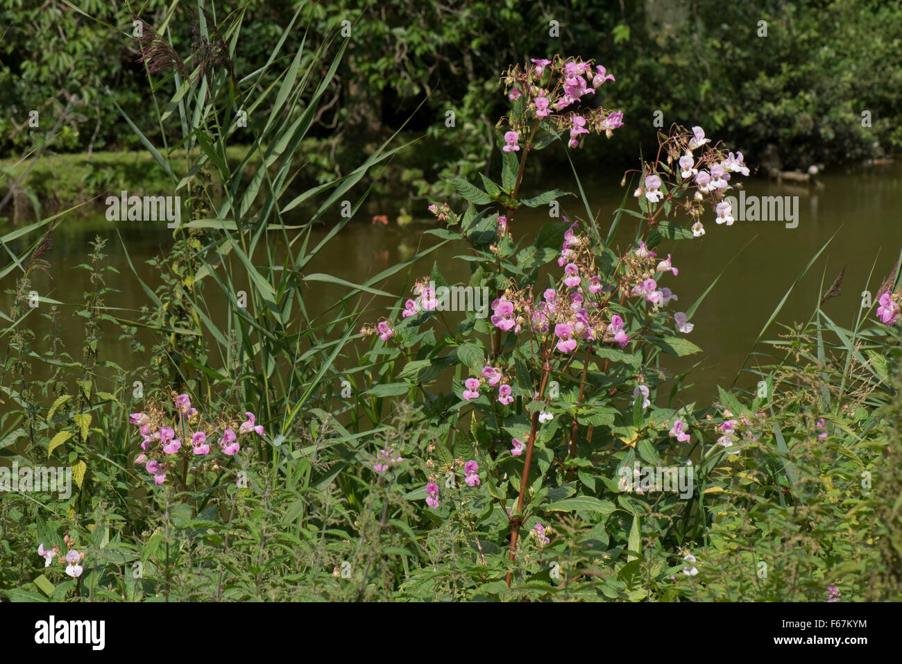 Himalayan balsam, Impatiens glandulifera, flowering in other veghetation on the bank of the Kennet and Avon Canal, - Stock Image