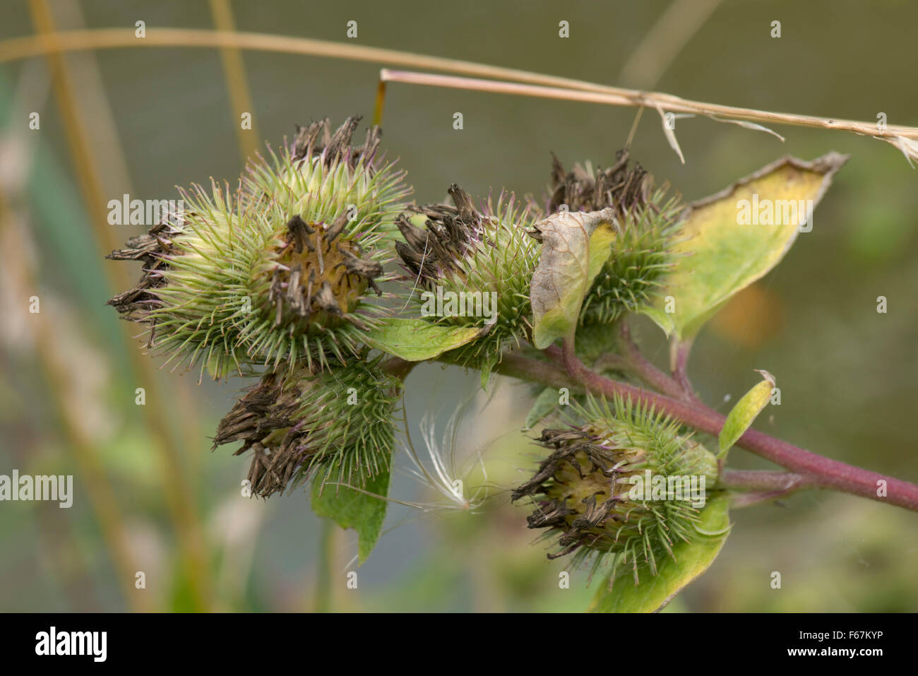 Seedhead of burdock, Arctium minus, sticky velcro type hairs after flowering, Berkshire, August - Stock Image