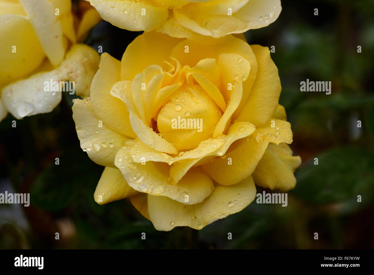 Yellow standard rose bloom 'ArthurBell' fragrant with rain drops on the petals, Berkshire, August - Stock Image