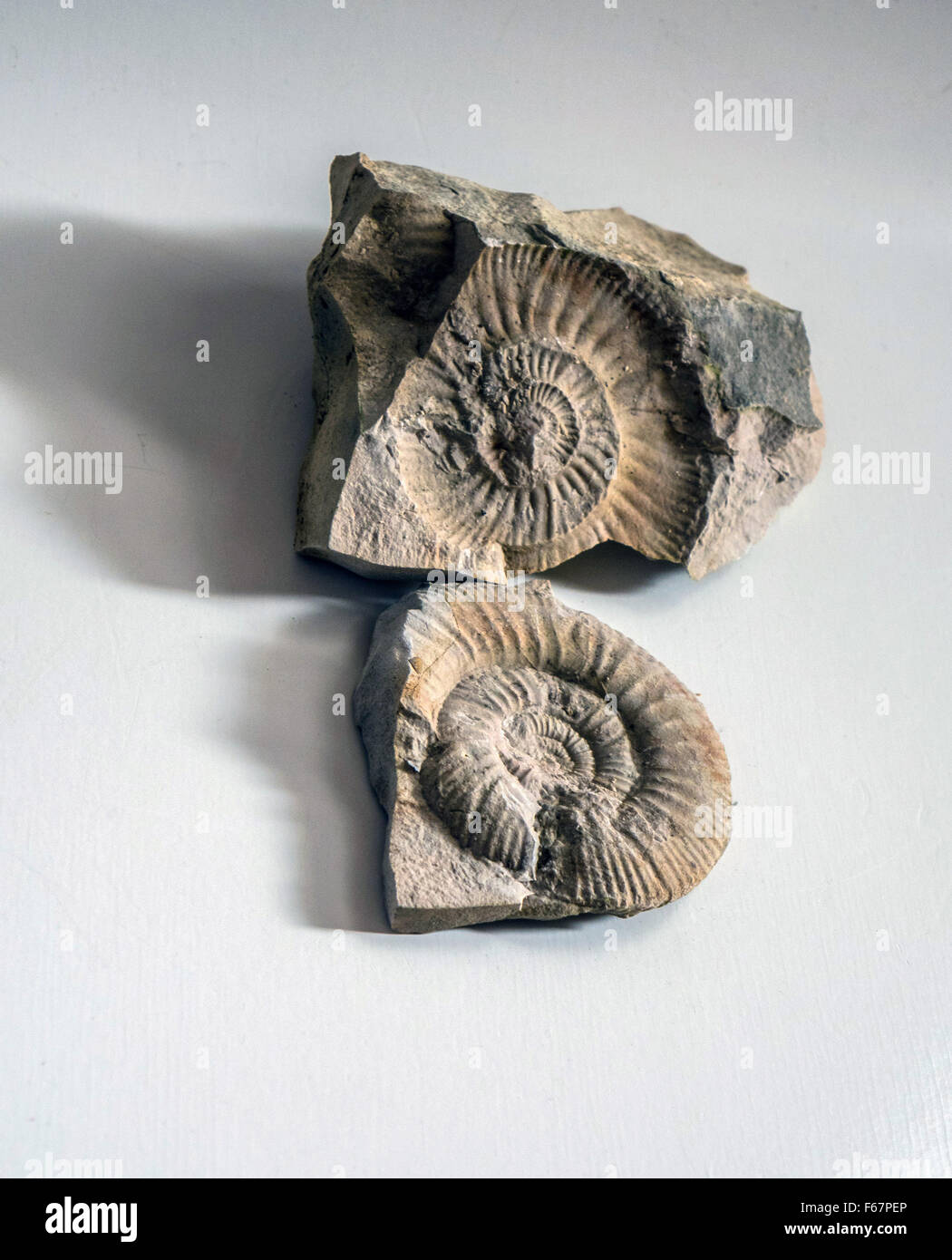 Ammonite fossil  and its cast in split rock - Stock Image