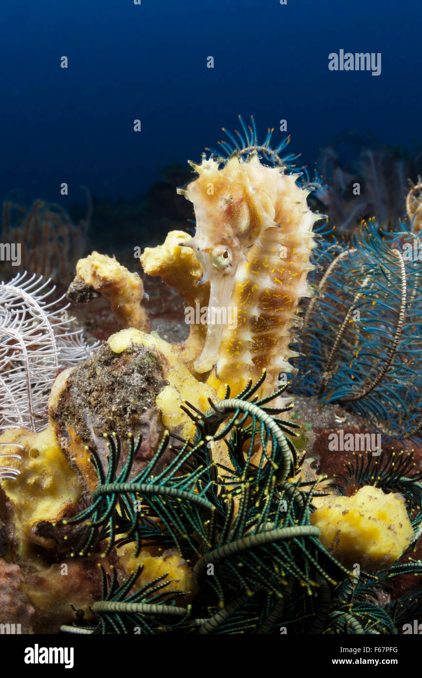 Thorny Seahorse, Hippocampus histrix, Bali, Indonesia - Stock Image