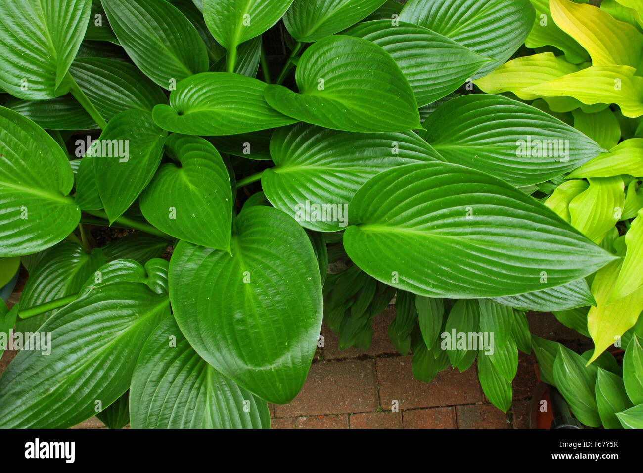 Beautiful rich green  leaves of a 'Devon Green' Hosta plant showing the fine ribbing of the leaves. - Stock Image