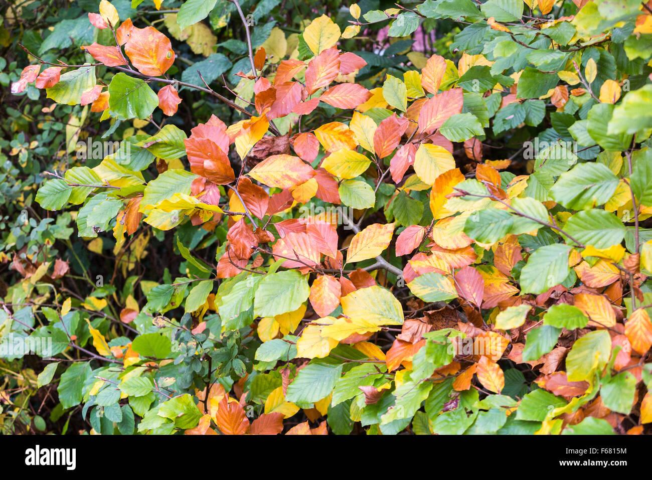 European Beech Fagus Sylvatica Stock Photos & European Beech Fagus ...