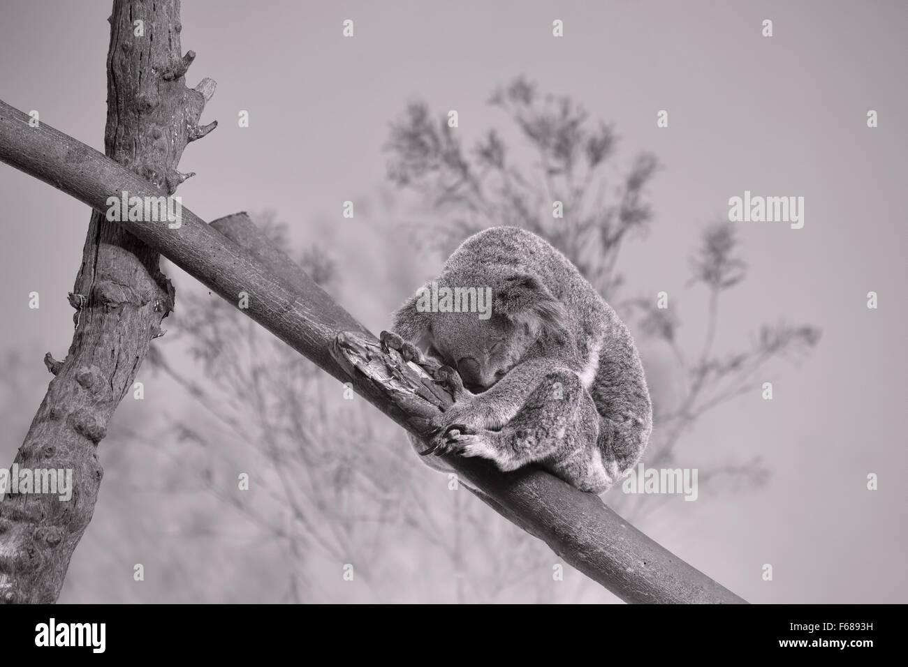 Sleeping Koala Bear - Stock Image