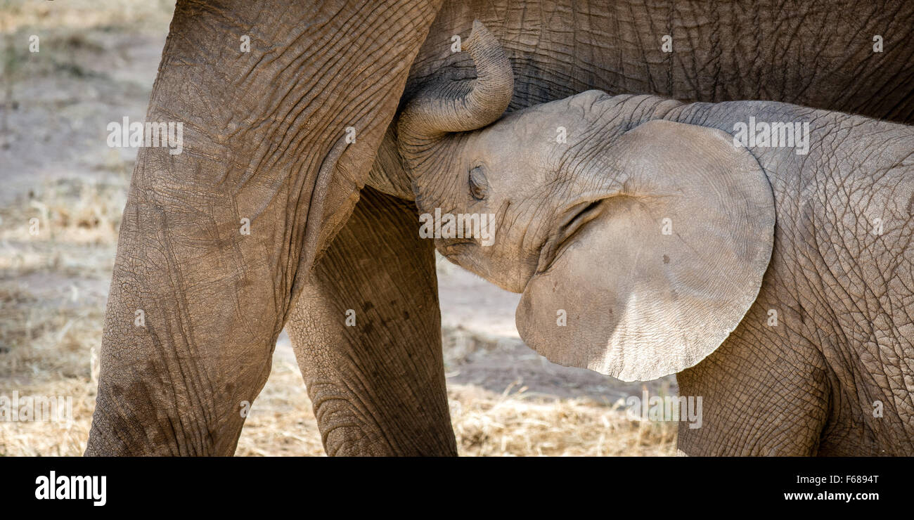 A baby elephant is drinking from his mothers milk in Kenya Africa. - Stock Image