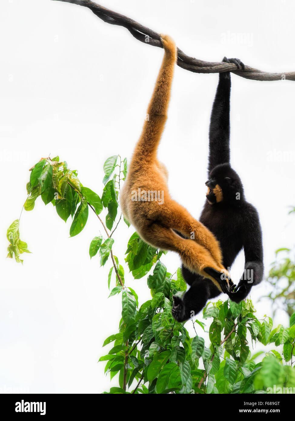 Wild Gibbon Monkeys - Stock Image