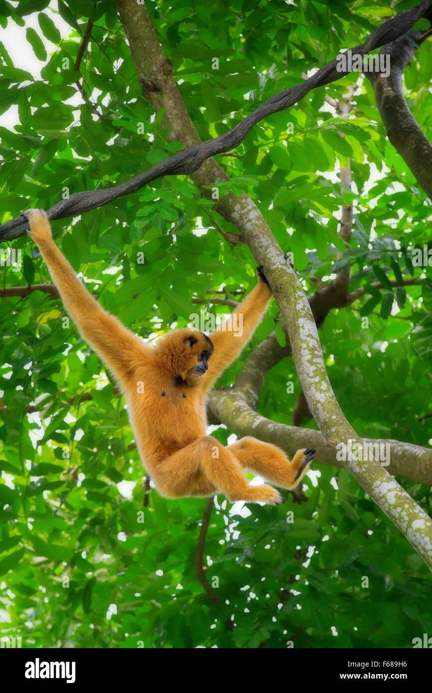 Wild Gibbon Monkey - Stock Image