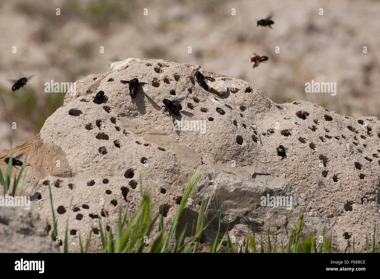 Wall bee, mason bee, Mortar bee, Schwarze Mörtelbiene, Megachile parietina, Chalicodoma parietinum, Chalicoderma - Stock Image