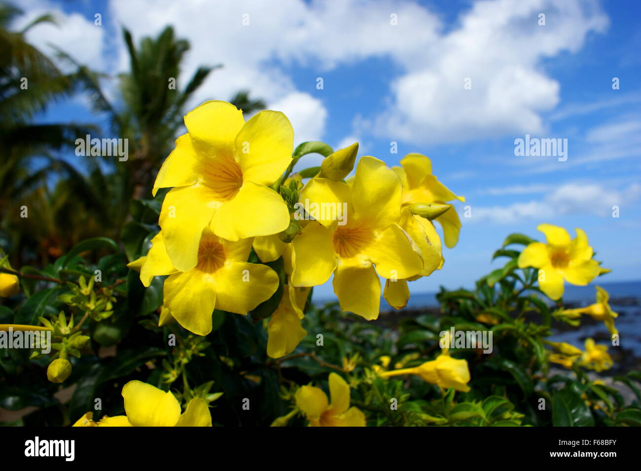 Africa mauritius beautiful yellow flowers stock photos africa beautiful yellow flowers allamanda stock image izmirmasajfo