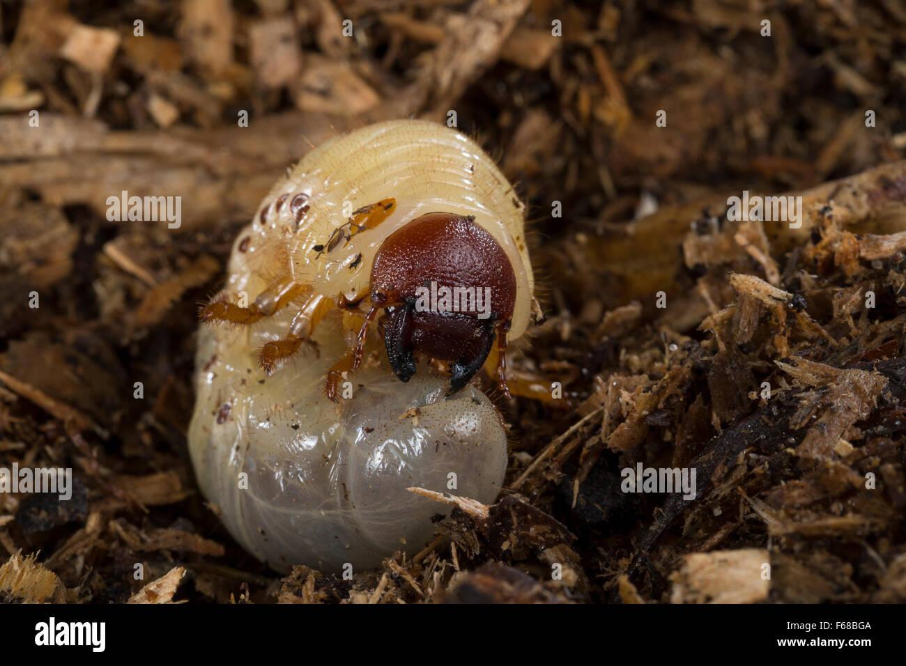 European Rhinoceros Beetle Larva Larvae Grub Nashornkafer Larve Stock Photo Alamy