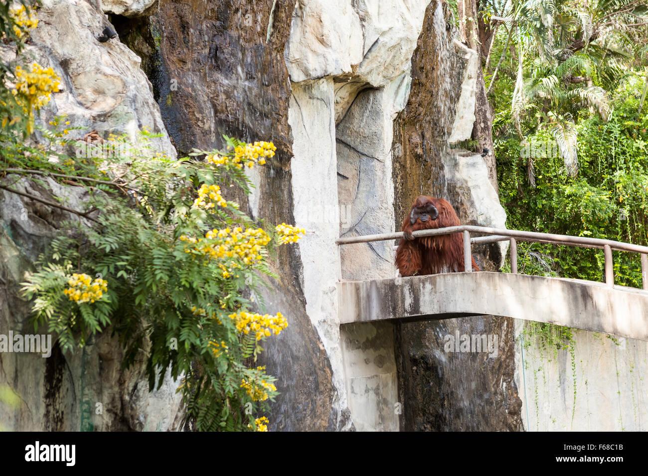 on an concrete walkway is an orangutan Stock Photo