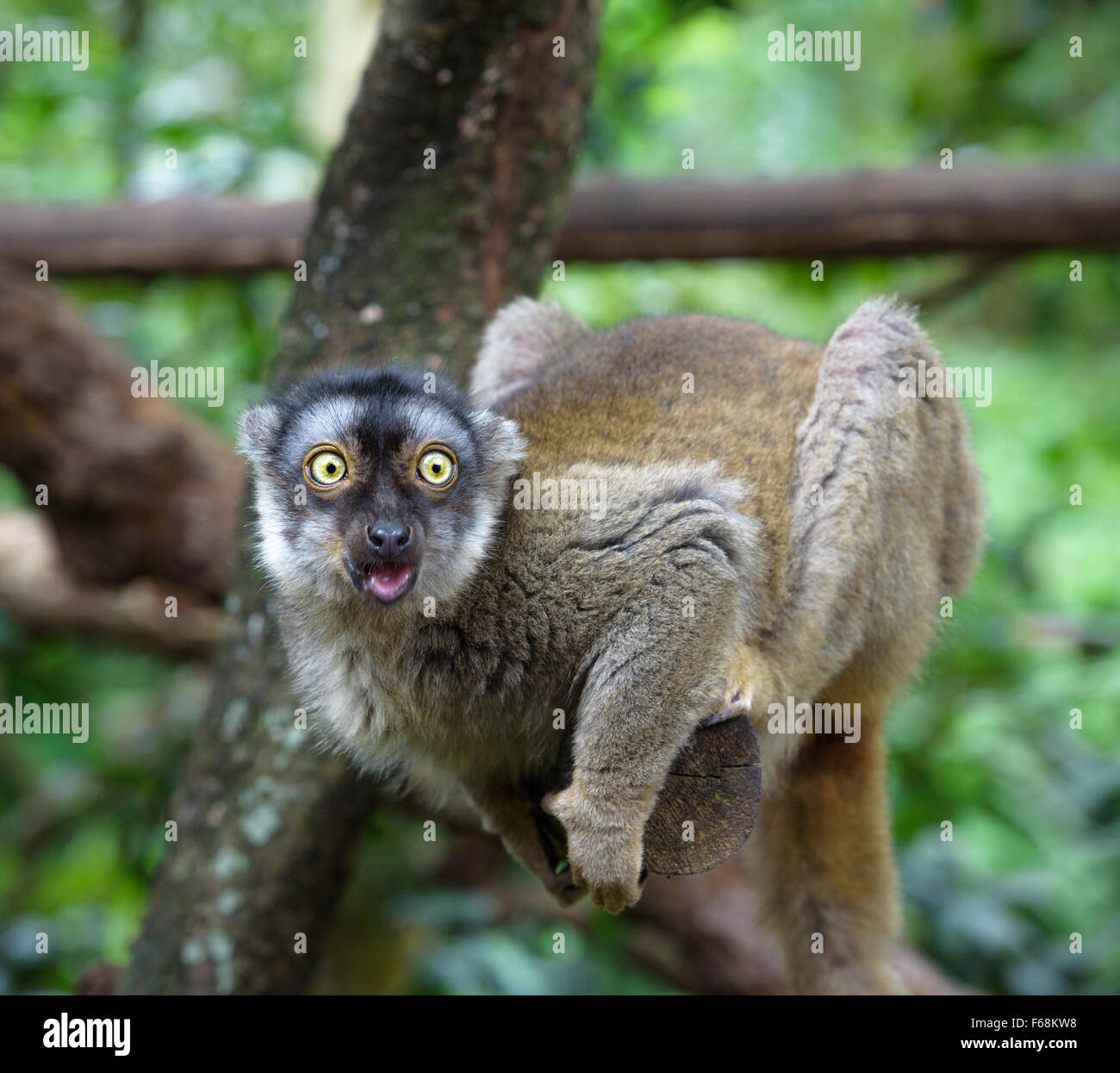 Lemur with open mouth looking at something with extreme surprise - Stock Image