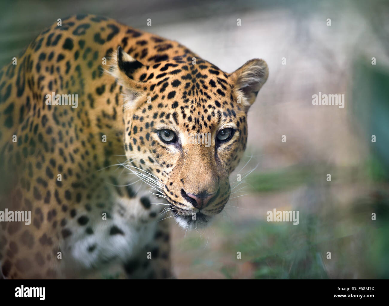 Closeup portrait of jaguar looking at camera, shallow depth of field - Stock Image