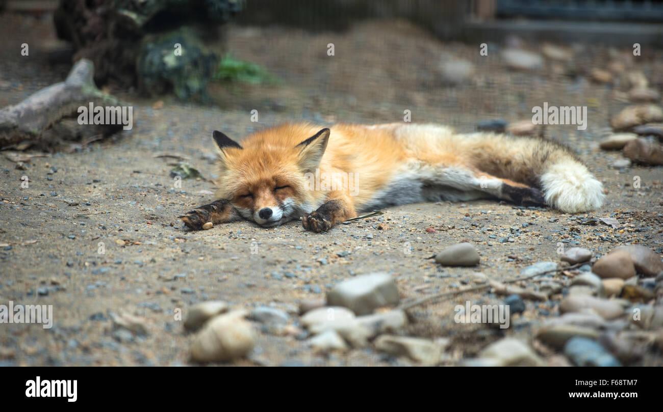 Red fox lying on the ground sleeping (looks like dead) - Stock Image