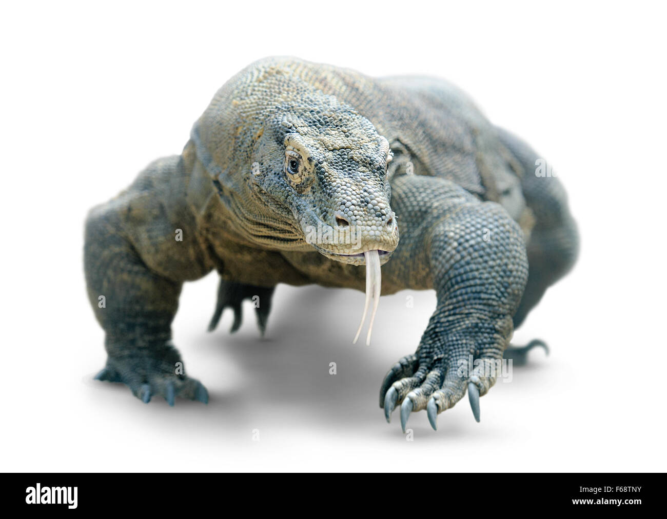 Walking komodo dragon isolated on white, with clipping path - Stock Image