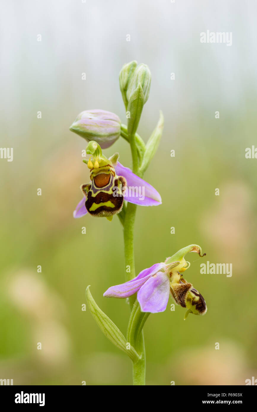 Bienen Ragwurz, Ophrys apifera, Bee Orchid Stock Photo
